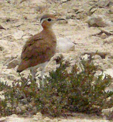Burchell's Courser and Double-banded Courser © Trevor and Jenni Franks
