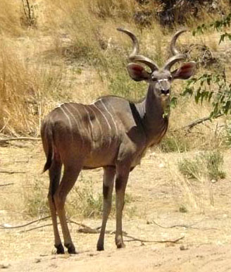 Greater Kudu © Trevor and Jenni Franks