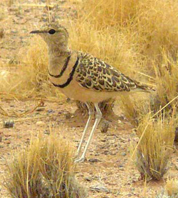 Double-banded Courser © Trevor and Jenni                Franks