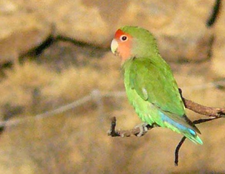 Rosy-faced Lovebird © Trevor and Jenni Franks