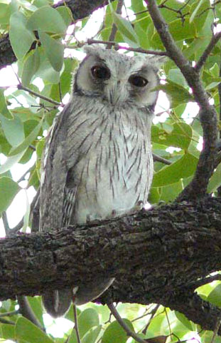 White-faced Scops-Owl © Trevor and Jenni Franks