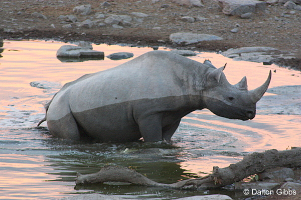 Black Rhino photographed during a Birding Africa tour of Namibia © Dalton Gibbs