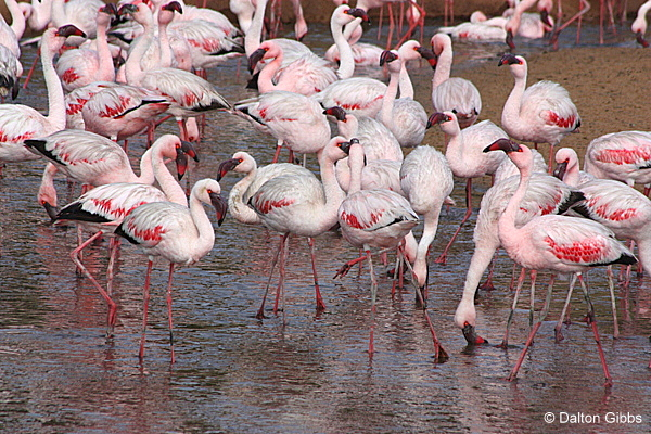 Greater Flamingo seen on a Birding Africa tour of Namibia