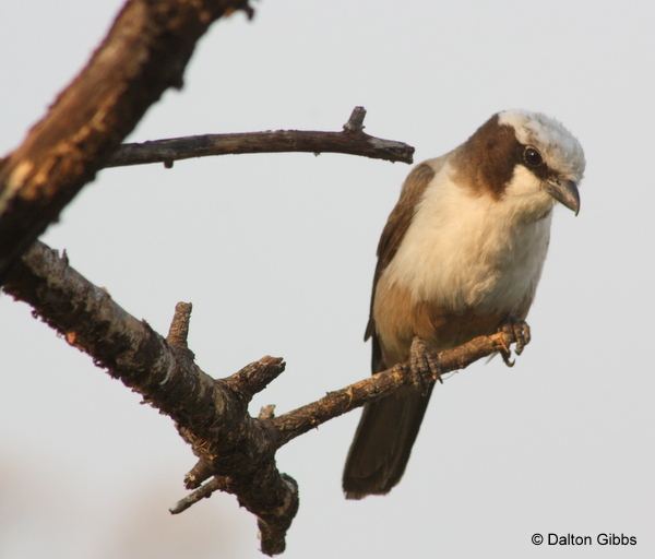 White-crowned Shrike © Dalton Gibbs on a Birding Africa Namibia Tour