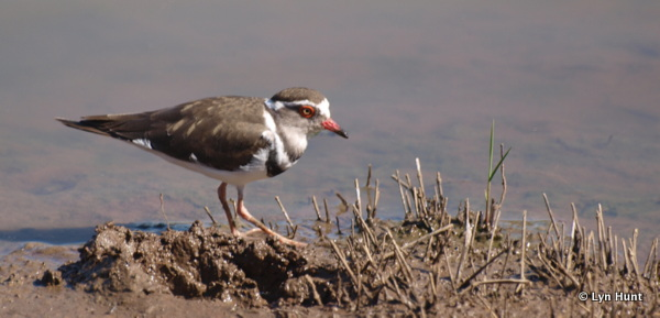 Three-banded Plover seen on a Birding Africa tour (c) Lyn Hunt