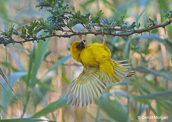 Southern Brown-throated Weaver © Denzil Morgan