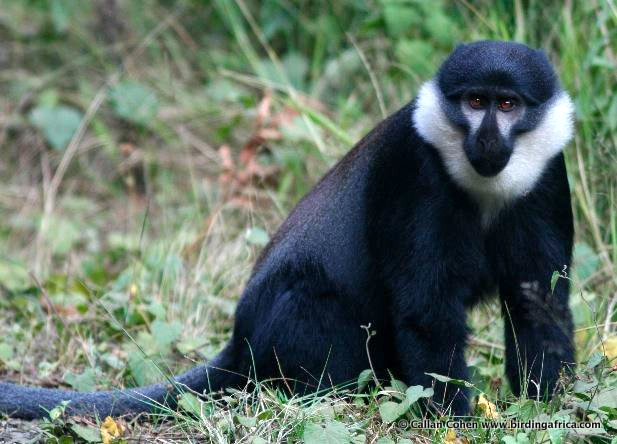 L'Hoest Monkey can be seen on our birding tours in Rwanda and Uganda. © Callan Cohen.