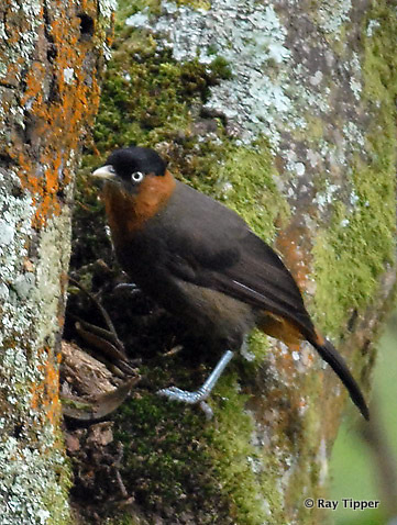 See Red-collared Mountain Babbler on a Rwanda Birding Tour © Ray Tipper