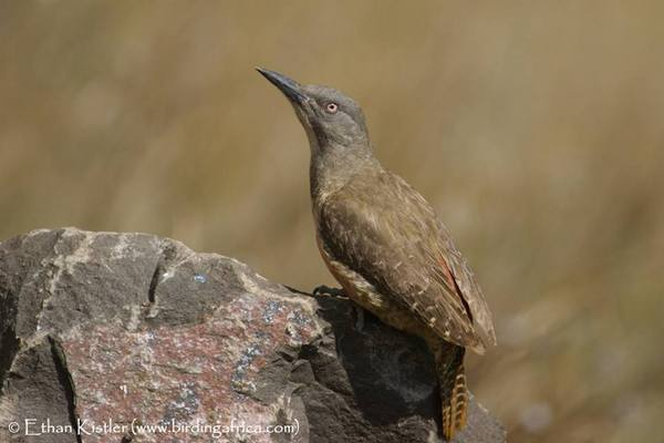 Ground Woodpecker seen on Birding Africa's Ultimate Endemics tour of South Africa © Ethan Kistler