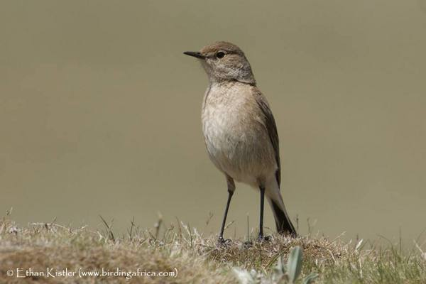 Sickle-winged Chat photographed in Lesotho during Birding Africa's Ultimate Endemics tour © Ethan Kistler