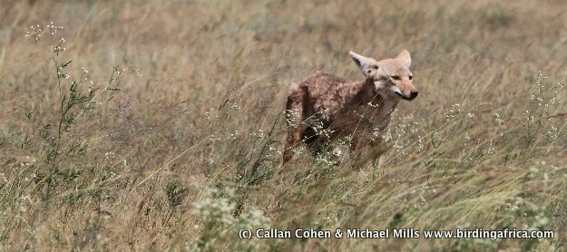 Golden Jackal in an area of grassland invaded by Parthenium weed © Callan Cohen & Michael Mills www.birdingafrica.com
