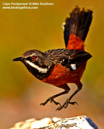 Cape Rockjumper photographed by Mike Buckham. See this Cape endemic bird on a Birding Africa day trip from Cape Town