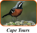 Cape Tours. Cape Rockjumper by Peter Steyn